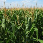 Genetically Modified Foods and the Practicing Allergist