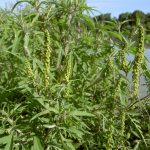 Get a 3-month head start on ragweed