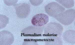 Plasmodium_malariae_macrogametocyte_5942_lores