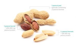 AR101—Commercial Peanut Oral Immunotherapy Product—Clears Phase 3 Hurdle